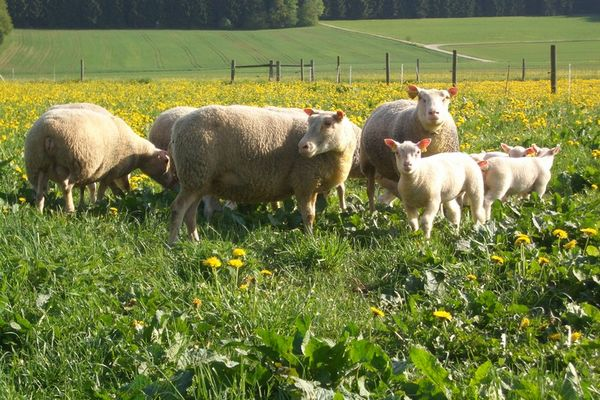 ALLEMAGNE_CHARMOISE_EXPORT_SHEEP_02.jpg