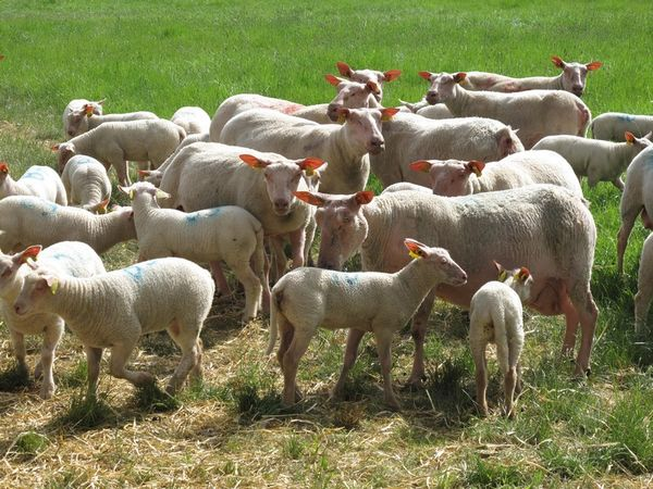 MERLANDE_ROUGE_DE_L'OUEST_SHEEP_06.JPG